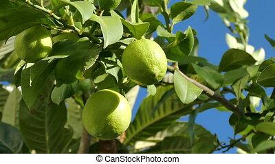 Unripe Green Lemons on the Branch Tree, closeup