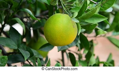 unripe green orange on tree - unripe green orange on a tree