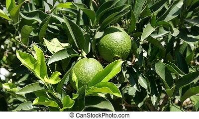 Unripe Green Oranges on the Branch Tree, closeup