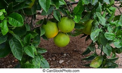 unripe green oranges on tree - unripe green orange on a tree