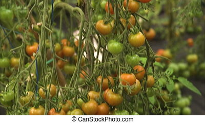 Unripe growing tomatoes - A tilt down medium shot of small...