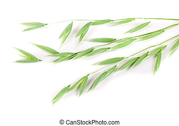 unripe oat spike isolated on white background
