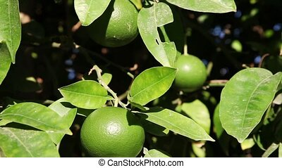 Unripe oranges - Closeup shot of an unripe oranges on branch...