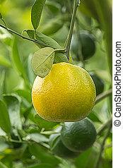 Unripe oranges on a tree branch