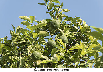 Unripe organge in the tree under the sun