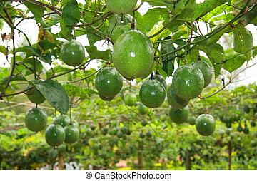 unripe passion fruit in farm