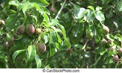 unripe pear fruit hang on tree twig garden. 4K