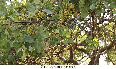 Unripe pistachio in orchard - Green unripe pistachio on tree...
