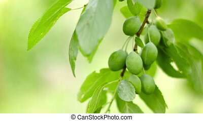 Unripe plums on the branches of a tree