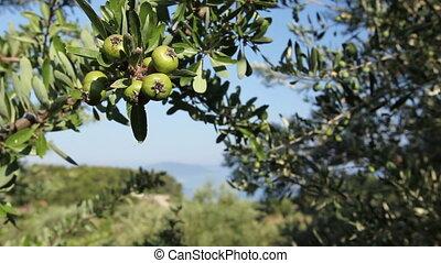 Unripe pomegranate in orchard - Green unripe pomegranate on...