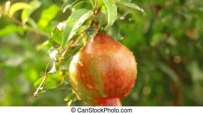 Unripe pomegrenade fruit hand-held - Unripe pomegrenade...