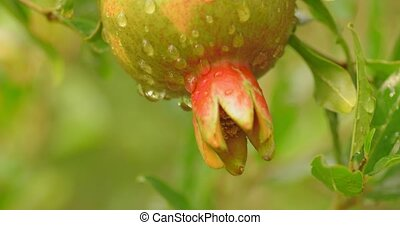 Unripe pomegrenade fruit. - Unripe pomegrenade fruit covered...