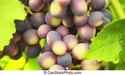 Densely clustered, unripe, purple grapes, clinging tightly to the vine, alongside broad, green leaves. 4k UltraHD footage