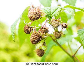 Unripe raspberry hanging on bush with fresh green leaves