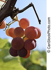 The winegrowers grapes on a vine