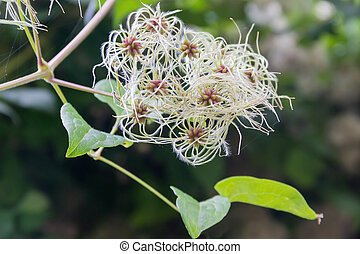 Unripe seed heads of clematis on a blurred background