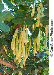 Unripe seed pods of a carob tree - Close-up of the unripe...