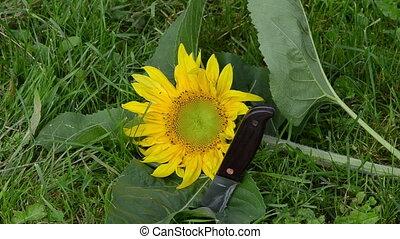 unripe sunflower knife