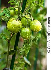 Unripe tomatoes after rain. Drops of water on tomatoes in the garden. Blurred background. Summer Rain. Vegetable growing.