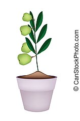 Unripe Walnuts on Tree in Ceramic Flower Pots