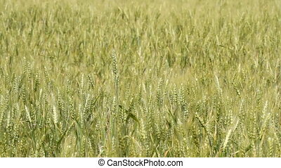 Unripe wheat in the field