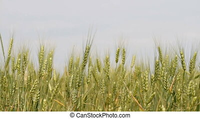 Unripe wheat on the field
