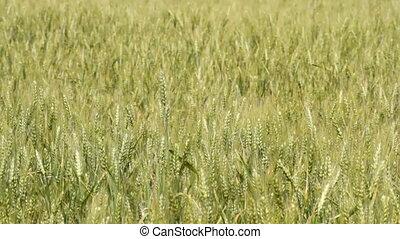 Unripe wheat in the field