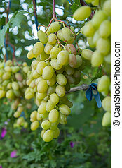 Unripe, young wine grapes in summer vineyard.