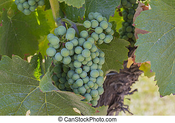Pinot Noir Grapes in Vineyard Okanagan British Columbia Canada