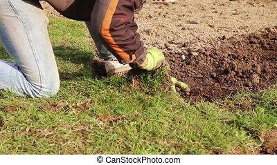 Unrolling grass, applying turf roll - Man is unrolling...