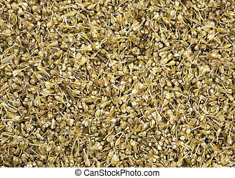 Unthreshed millet still in chaff. - Close-up of unthreshed...