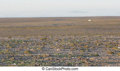 Unusual circumstances: polar bear remained in continental  polar desert summer