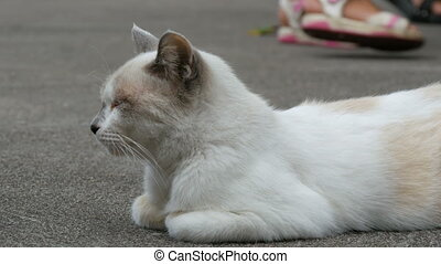 Unusual color white cat sleeps on street close up view
