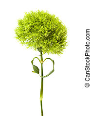 unusual green Dianthus barbatus carnation isolated on white ...