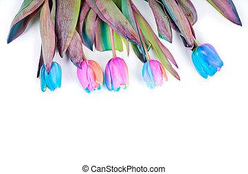 Unusual rainbow tulips for border or frame