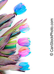 Unusual variegated tulips for border or frame