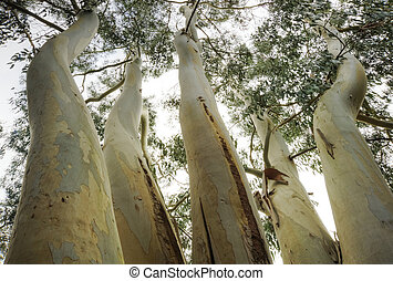 Unusual viewpoint of Eucalyptus tree - Vertical view of ...