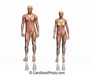 uomo, anatomia, woman.