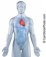 uomo, cuore, anatomia, isolato, posizione