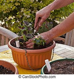 uomo, piantatura, cesto appende, con, fiori, per, estate, giardino