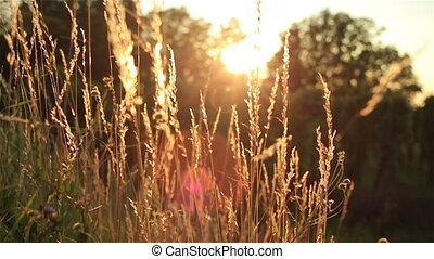 up., золотой, пшеница, природа, декорации, красивая, field., sunlight., под, закрыть, сельский, ears, закат солнца, landscape., shining