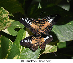 Up Close Look at a Pair of Mating Butterflies