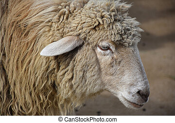 Up Close Look Into the Face of a Sweet Sheep