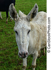 Up Close Look Into the Face of a White Farm Donkey