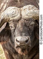Up Close Portrait of a Buffalo