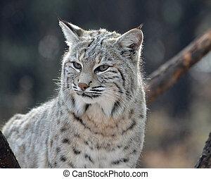 Up Close with a Bobcat