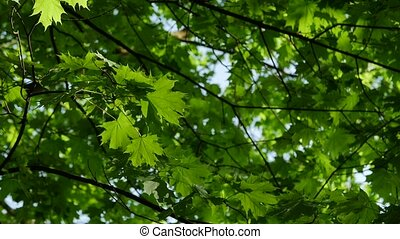 Up view of maple leaf tree of green leaves on a blue sky.