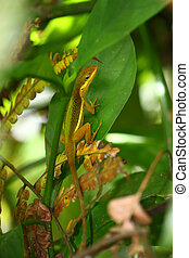 Upland Grass Anole (Anolis krugi) - An Upland Grass Anole...