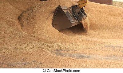 Uploading corn in shovel bucket. Big grain pile in facility...