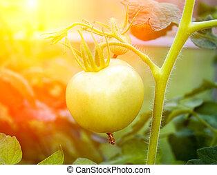 uppe, grön, filial, frisk, nära, tomaten